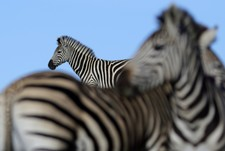 Jono Pledger Zebra Abstract