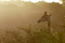 Jono Pledger Giraffe Sunset 2