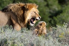 Jono Pledger Lion Pair Fighting