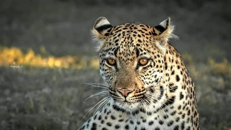 Leopard On Amakhala   Brad Louwrens 3