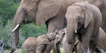 Amakhala Game Reserve Safari Elephant Family