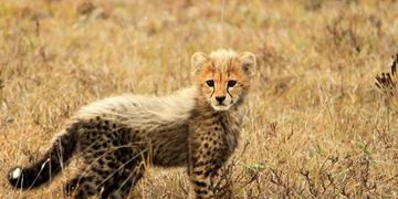 Amakhala Game Reserve Wildlife Cheetah Cub Min