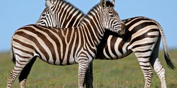 Greater Addo Port Elizabeth Accommodation Amakhala Game Reserve Zebra