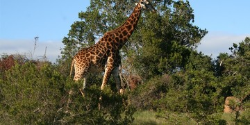 Greater Addo Port Elizabeth Accommodation Amakhala Game Reserve Giraffe