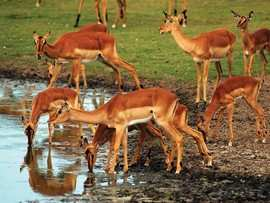 Amakhala Game Reserve Safari Holiday Impala
