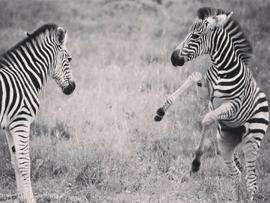 Amakhala Game Reserve Wildlife Zebra Dance Min