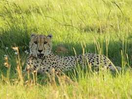 Greater Addo Port Elizabeth Accommodation Amakhala Game Reserve Cheetah